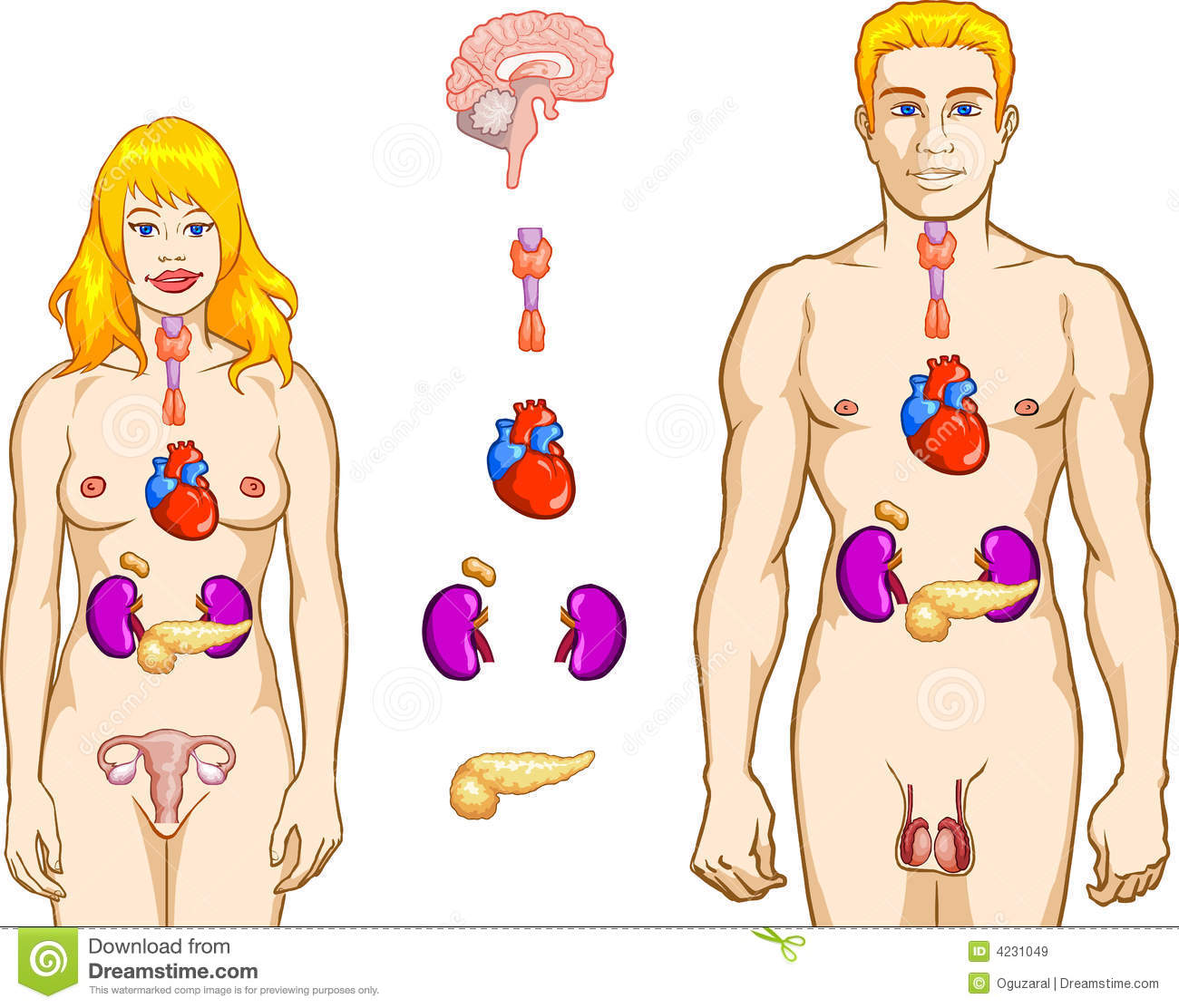 http://www.dreamstime.com/royalty-free-stock-images-endocrine-system